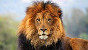 heybetleriyle gozleri doyuran aslanlar hakkinda birbirinden ilginc bilgiler 780x440
